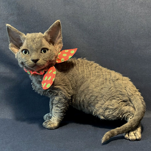 16 Zima  female kitten Devon Rex