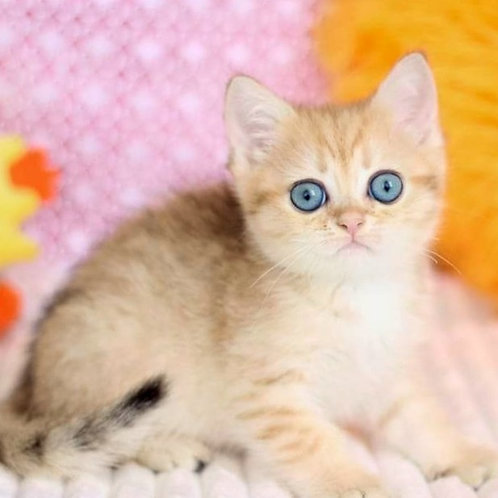 985 Kleen   British shorthair male kitten