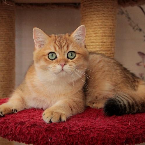 1163 Cooper   British shorthair male kitten