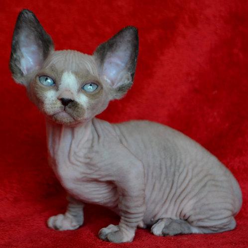 262 Baby female Bambino  kitten
