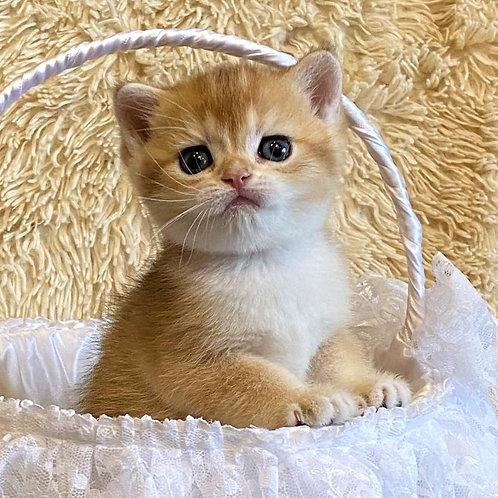 998 Balu  British shorthair male kitten
