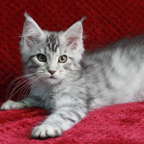 466 Hope Maine Coon female kitten