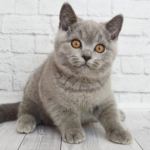 630 Jared Leto  British shorthair male kitten