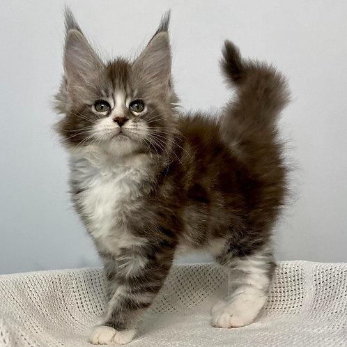 410 Tayna  Maine Coon female kitten