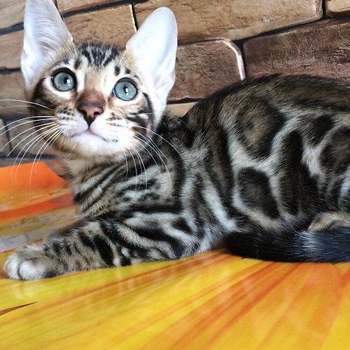 104 Samantha  purebred Bengal female kitten