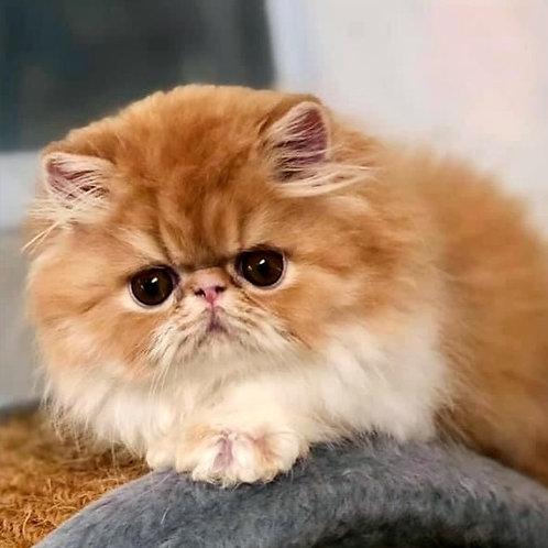 145 Amira Persian female kitten