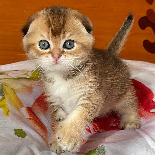 210 Join    Scottish fold shorthair male kitten
