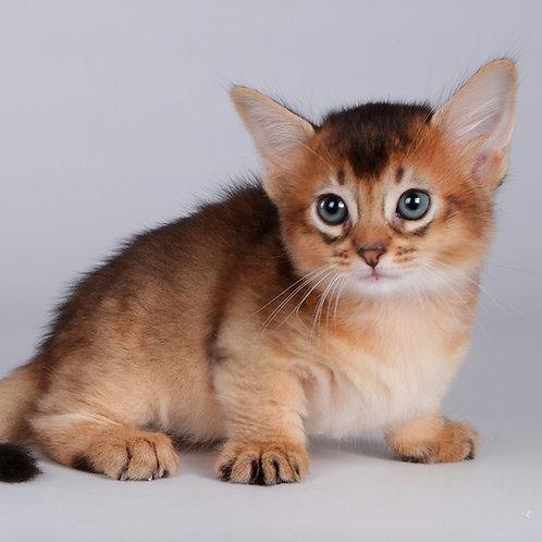 967 Yhoshi       Munchkin shorthair female kitten