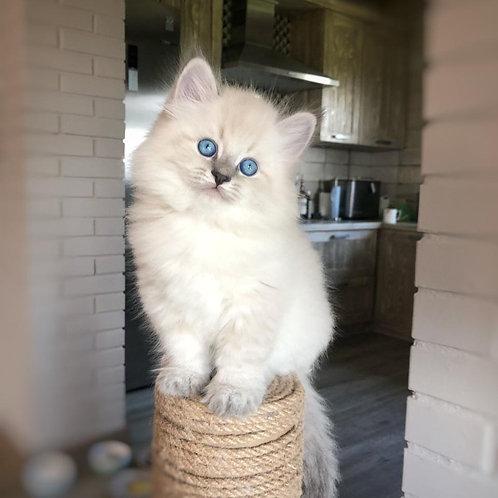 458 Nestor Siberian male kitten
