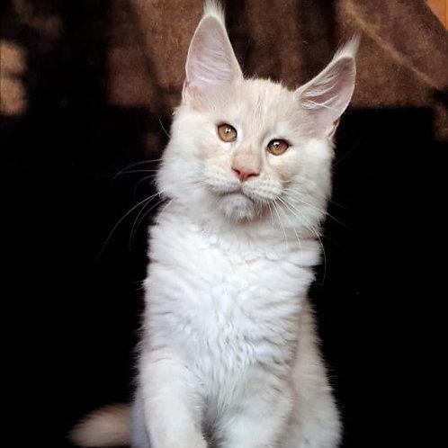 674 Jack  Maine Coon male kitten