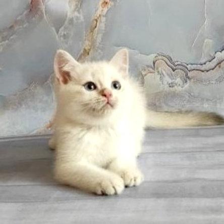 759 X-boy  British shorthair male kitten