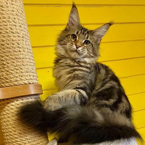 494 Madelina Maine Coon female kitten