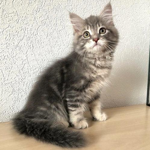 90 Lul    Siberian male kitten