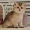Thumbnail: 956 Mark   British shorthair male kitten