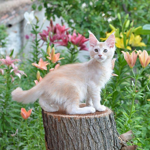 Archie Maine Coon male kitten