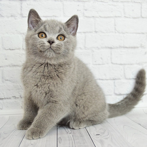 629 Jeronimo  British shorthair male kitten