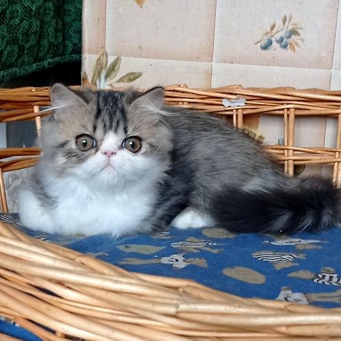 257 Boni    Exotic  male kitten
