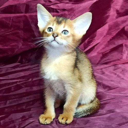 68 Ariana   purebred Abyssinian female kitten