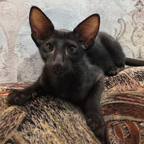 487 Amigo  Oriental male kitten