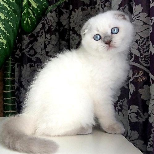 999 Yarik   Scottish fold shorthair male kitten