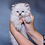 Thumbnail: 284 Amur    Siberian male kitten