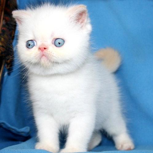 154 Assol   Exotic  female kitten