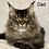 Thumbnail: 639 Shanti  Maine Coon female kitten