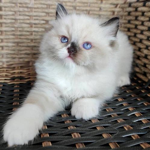 183 Moakochino  purebred Ragdoll male kitten
