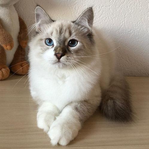 311 Mars      Siberian male kitten