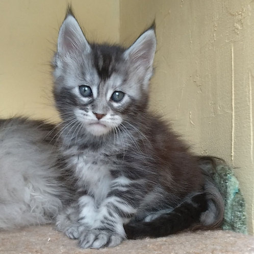 618 Dallas I Maine Coon male kitten