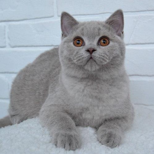 342 Greyson    British shorthair male kitten