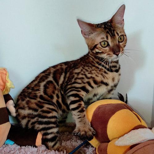 183 Valeri  purebred Bengal female kitten
