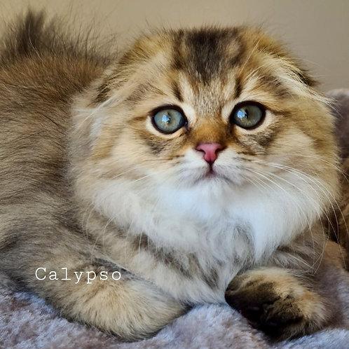 1040 Calipso  Scottish fold longhair male kitten