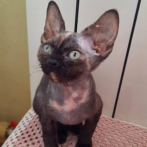 207 Agata  female kitten Devon Rex