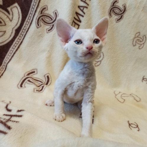 Ippolit male kitten Devon Rex
