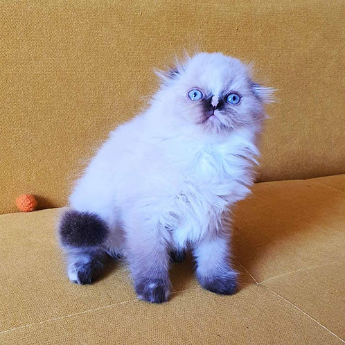 Diva Scottish fold longhair female kitten