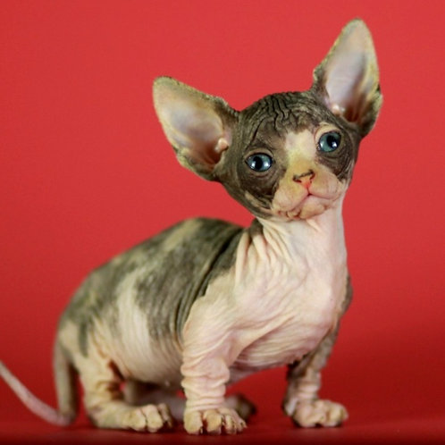 406 Demi Murr female Bambino  kitten