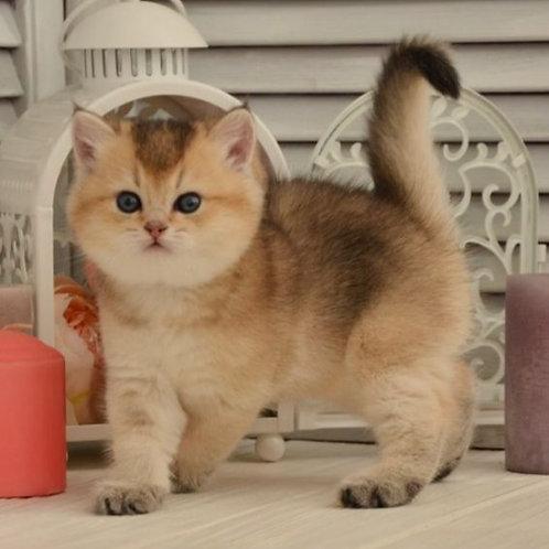956 Mark   British shorthair male kitten