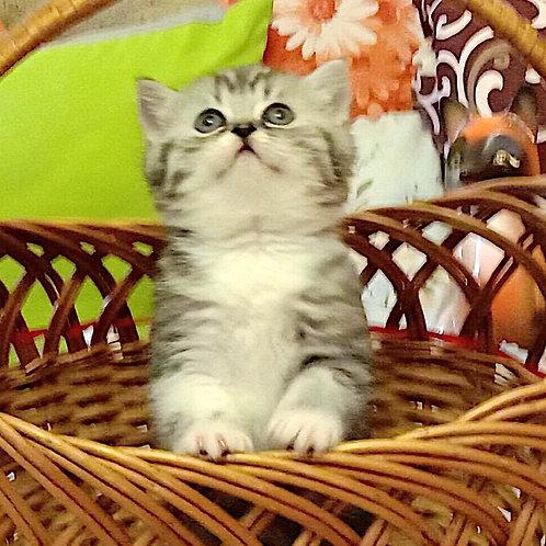 548 Balerina Scottish straight shorthair female kitten
