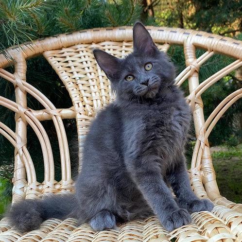 Vita Maine Coon female kitten