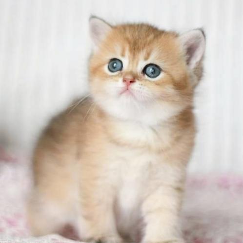 786 Grum  British shorthair male kitten