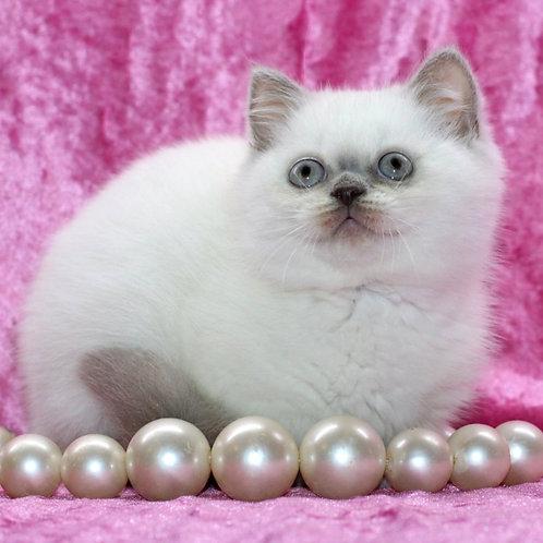 14 Merlin Scottish straight shorthair female kitten