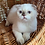 Thumbnail: 1103 Yoko  Scottish fold shorthair female kitten