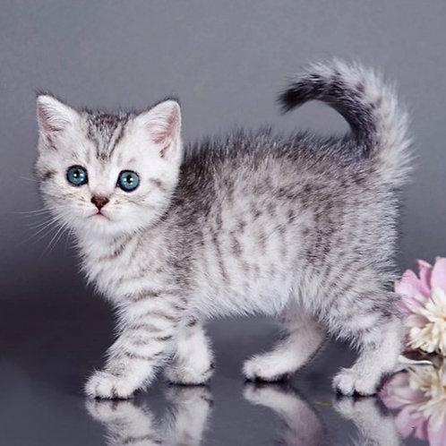 869 Chelentano  British shorthair male kitten