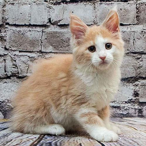 876 Pamela  Maine Coon female kitten
