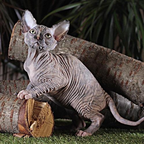 657 Tantra  female Sphynx   kitten