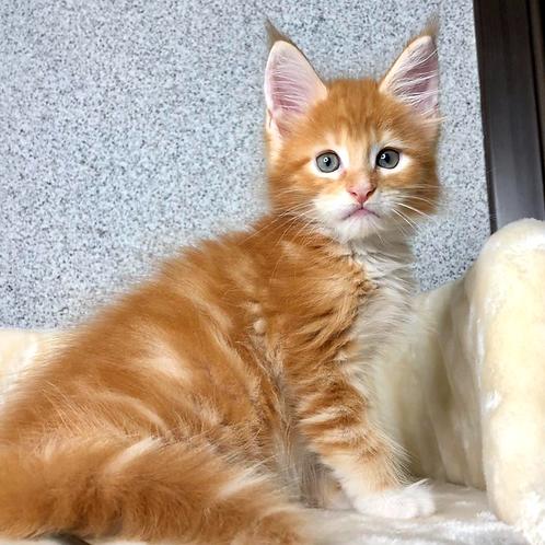 846 Jack Daniels  Maine Coon male kitten