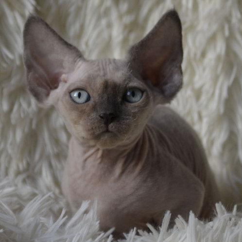285 Wasabi    male kitten Devon Rex