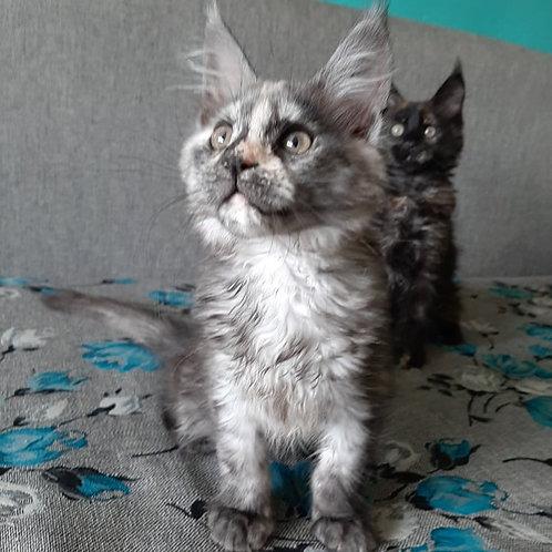 294 Sheila  Maine Coon female kitten