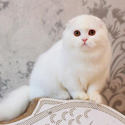 478 Fay  Scottish fold longhair female kitten
